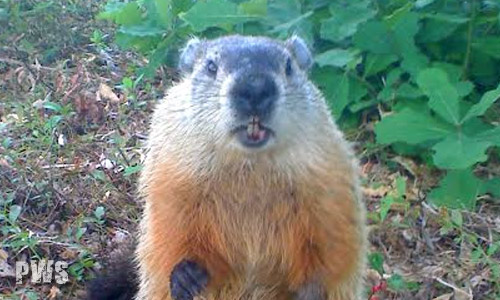 Photo of Woodchuck